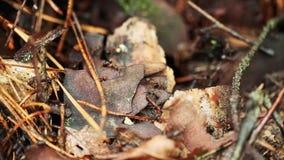 Röda Forest Ants Formica Rufa On en stupad gammal trädstam Myrainflyttningmyrstack lager videofilmer