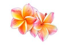 Röda frangipaniblommor på en vit bakgrund kvittrar Asien Royaltyfri Bild