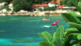 Röda frangipaniplumeriablommor vrida sig förbi havbrisen nära den tropiska stranden med krusigt turkosblått vatten in stock video
