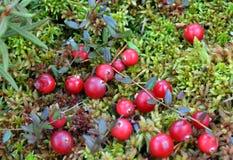 Röda frukt, mat, moget som är grön, natur, äpple, träd, höst, bär som är nytt, grönsak, trädgård, växt, jordbruk, tomat, bär, Royaltyfri Bild