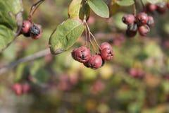 Röda frukter Royaltyfri Fotografi