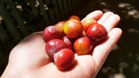 Röda frukter Fotografering för Bildbyråer