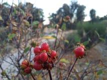 Röda frukter royaltyfri bild