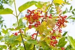 Röda frukter av Viburnumväxten i sommar Arkivfoto
