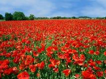 röda fulla vallmor för fält Arkivbild