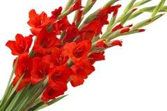 Röda gladiolusblommor Arkivfoto