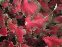 Röda gröna Caladiumsidor royaltyfri fotografi