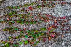 Röda & gröna murgrönasidor vaggar på stenväggen arkivbilder