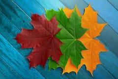 Röda, gröna och gula höstlönnlöv på en blå träyttersida royaltyfri foto