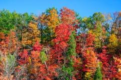 Röda, gröna och gula lönnträd i nedgång Arkivfoton
