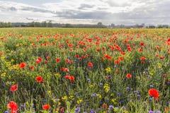 röda gröna vallmor för fält Arkivbild
