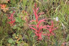 Röda grov spik royaltyfria foton