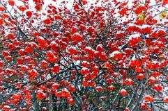 Röda grupper av rönnbär i snön arkivfoto
