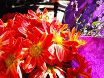 Röda gula Autumn Flowers med en lilabakgrund royaltyfria bilder