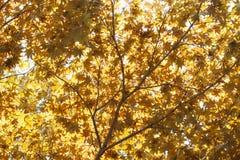 Röda gula nedgånglönnblad som är upplysta vid naturlig bakgrund för sol arkivfoto