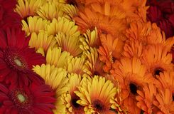 Röda, gula och orange tusenskönor i utomhus- marknad royaltyfri bild