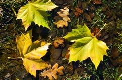 Röda, guld- och bruna sidor för guling, på jordningen Royaltyfria Foton