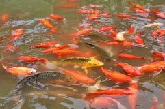 Röda guldfiskar i ett damm arkivfoto