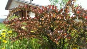 Röda gulingblommor för trädgårds- buske Arkivfoton