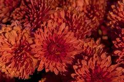 röda härliga blommor Royaltyfria Foton