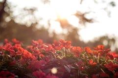 röda härliga blommor Arkivfoto