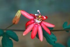 röda härliga blommor Royaltyfri Bild