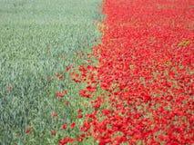 Röda härliga blommor och sädes- gräsplan arkivfoto