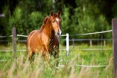Röda hästkörningar traver på naturbakgrunden Arkivbild