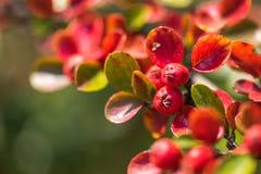 Röda höstbär av röda Firethorn Härlig bakgrund för höst royaltyfri fotografi