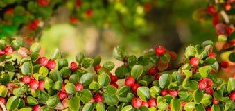 Röda höstbär av röda Firethorn Härlig bakgrund för höst arkivfoton