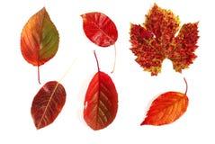 röda höstliga leaves Royaltyfria Bilder