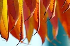 röda höstliga leaves Arkivbilder