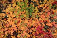 Röda höstliga leaves Arkivfoto