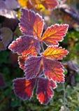 röda höstliga leaves Royaltyfri Bild