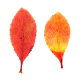 Röda höstsidor av barberryen som isoleras på vit Arkivbild