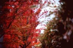 Röda höstsidor, japansk lönn med suddig bakgrund arkivbilder