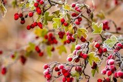 Röda hagtornbär på en frostig morgon i November royaltyfri foto