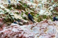 Röda halsfåglar för gam i Ballestas Islands.Peru.South Amerika. Arkivfoto