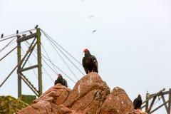 Röda halsfåglar för gam i Ballestas Islands.Peru.South Amerika. Nationalpark Paracas. Royaltyfria Foton