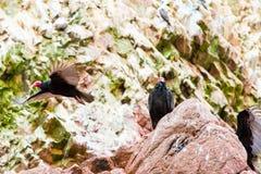 Röda halsfåglar för gam i Ballestas Islands.Peru.South Amerika. Nationalpark Paracas. Royaltyfria Bilder