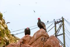 Röda halsfåglar för gam i Ballestas Islands.Peru.South Amerika. Nationalpark Paracas. Royaltyfri Foto