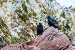 Röda halsfåglar för gam i Ballestas Islands.Peru.South Amerika. Nationalpark Paracas. Arkivbilder