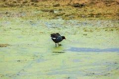 Röda halsfåglar för gam i den Ballestas öPeru South America nationalparken Paracas Arkivbild