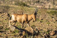 Röda Hartebeest Fotografering för Bildbyråer