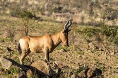 Röda Hartebeest Royaltyfria Bilder