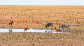 Röda Hartebeest och eland Arkivfoton