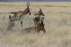 Röda Hartebeests som vilar i högväxt gräs, Etosha nationalpark, Namibia Royaltyfri Foto