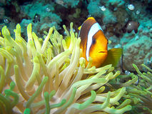 Röda havet eller två-satt band clownfish/anemonefish/Amphiprionbicinctus Royaltyfria Foton