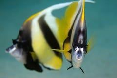 Röda havet undervattens- Bannerfish Royaltyfri Foto