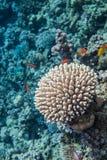 Röda havetkorallslut upp Arkivbild